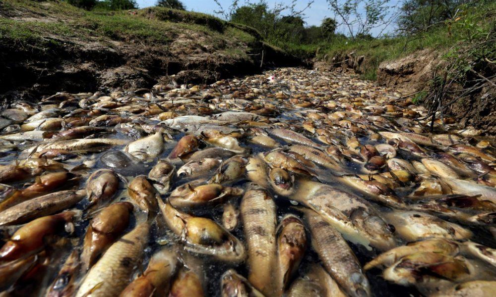 Confirman que muerte de millones de peces en el paran es for Peces que se cultivan en estanques en panama